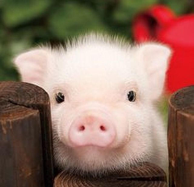 One day this little pink pig will be mine! He's so damn cute!!!