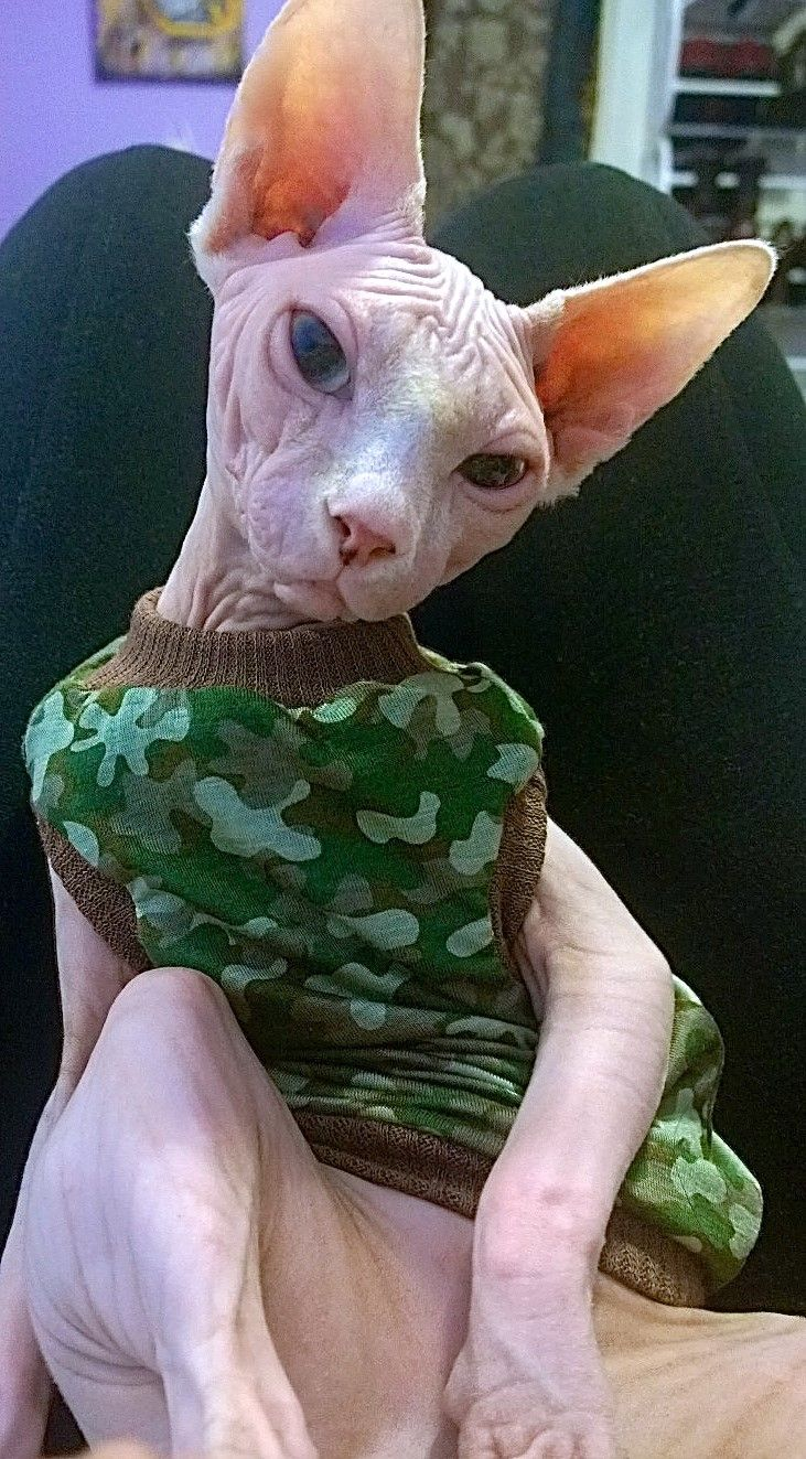 Amazing Facts You Have to Know About Donskoy Cat Rare