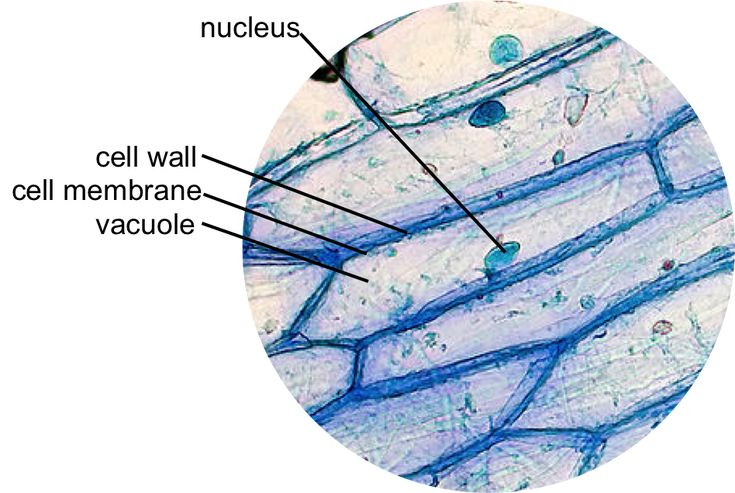Epidermal onion cells under a microscope. Plant cells ...
