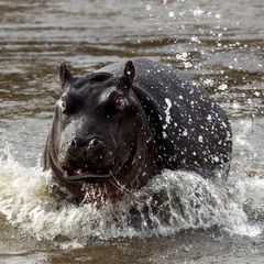 Flusspferd in Aktion