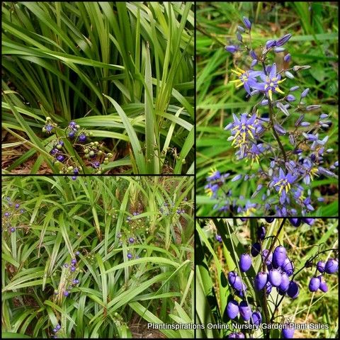Dianella tasmanica x 8 Grass Flax Native Tasmanian Flax Lily Hardy Garden Plants $29.95