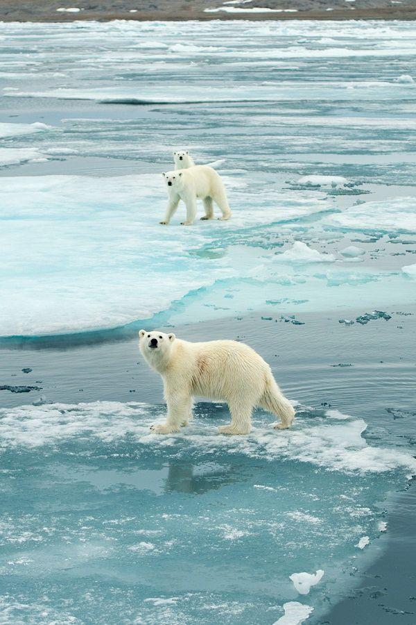 Best 25 Polar Bear Fur Ideas On Pinterest National