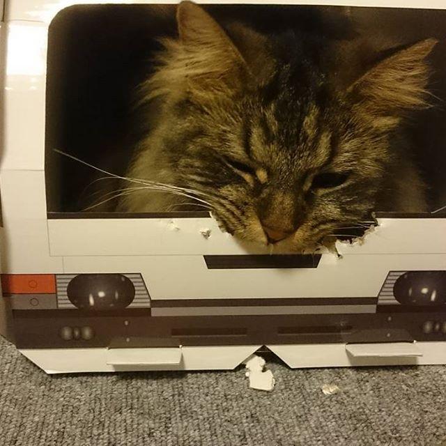あ~ぁ(╥ω╥`) 早くも事故車になっちゃった😼 : #猫#愛猫#空#スコティッシュフォールド#立ち耳スコ#長毛スコ#ふわふわ#もふもふ#ふわもふ#癒し猫#猫との暮らし#ルドルフトラック