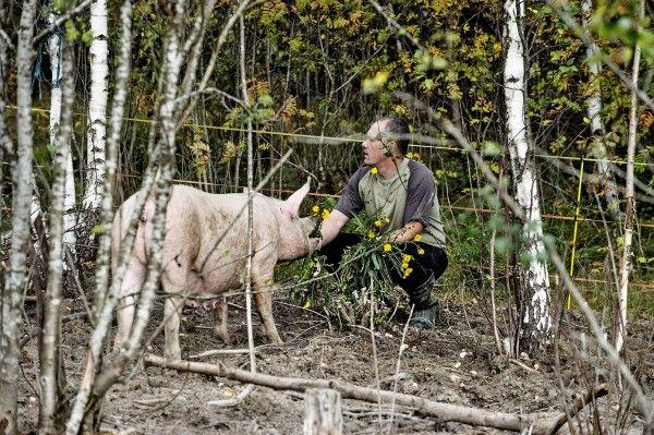 Aina meillä on siat pihalla ollu, sanoo vanhempiensa maatilan pitoa jatkanut Tony Kajander.