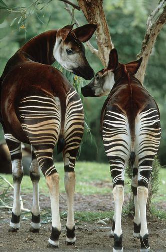 Okapi mom and calf. Related to the giraffe, this endangered species comes from the Congo.