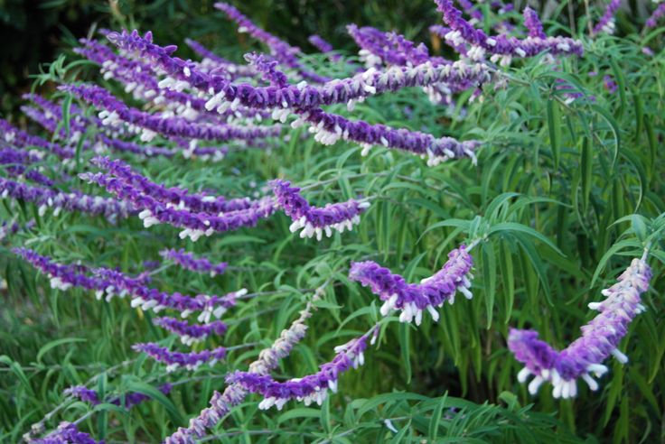 Mexican lavender jardin pinterest mexicans flower for Ada jardin perfume