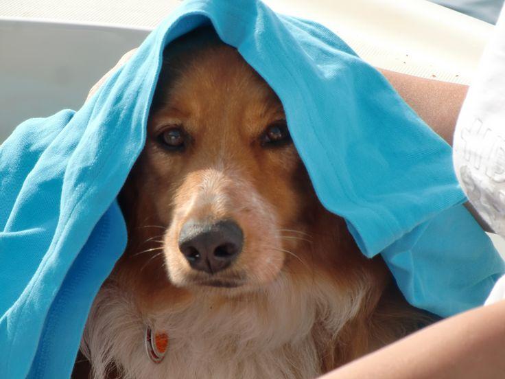 Wer die schönsten Tage im Jahr mit seinem Vierbeiner am sonnigen Strand oder generell in wärmen Gefilden verbringen möchte, sollte ein paar Dinge beachten. Auch für Hunde kann ein Klimawechsel belastend sein. Dabei gilt für Mensch und Hund: Nur kein Stress! Immer mit der Ruhe, mach lieber mal S…