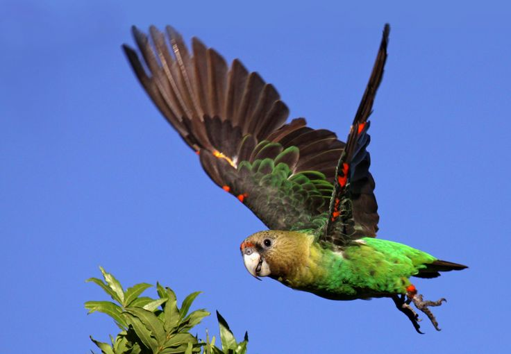 Cape Parrot Project - image from National Geographic