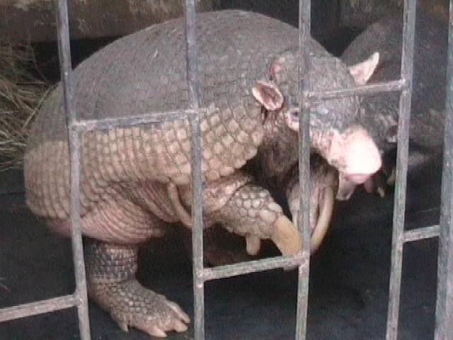 Giant_armadillo Pascaweb at English Wikipedia, en peligro de extinción