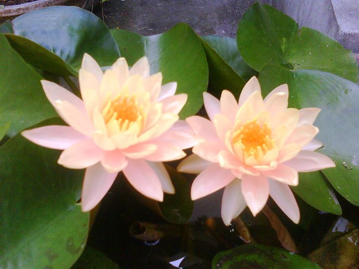 Gambar Bunga Teratai Kuning