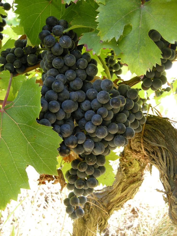 grapes - Tacchino Raffaele