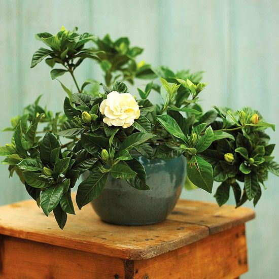 Top fragrant house plants... Gardenia ...Renowned for being one of the most fragrant flowers around, gardenia is a lovely, but tricky houseplant. Its glossy green leaves put the spotlight on the single or double white flowers that emit a heavy, flowery scent.
