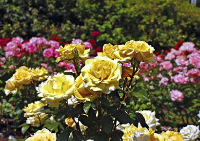 «Розы в саду»-проект телеканала «Загородная Жизнь»