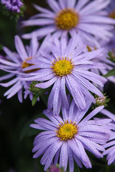 Aster × frikartii 'Mönch'. Slender lavender-blue ray-florets surround a golden yellow disc, forming good-sized flowerheads to 8cm across, which top sturdy, well-branching stems from midsummer to mid-autumn. Highly prized for its vigorous growth and resistance to disease.