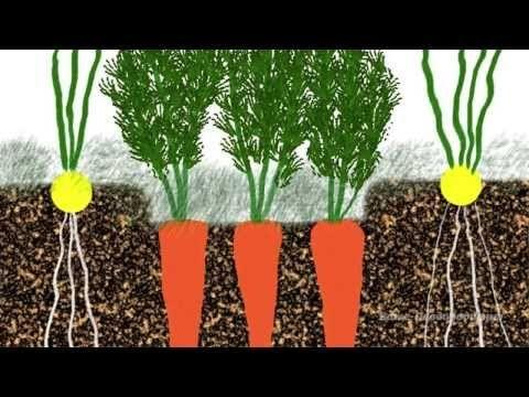 ▶ Выращивание моркови, лука, чеснока, сельдерея - YouTube   Сад и огород   Постила