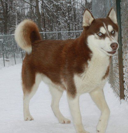 Aruff Ranch,Aruff,Siberian Husky Breeder,Siberian Husky,Siberian, Husky, Puppy,puppies,Guarantee, Minnesota,mini,for sale,breeder,