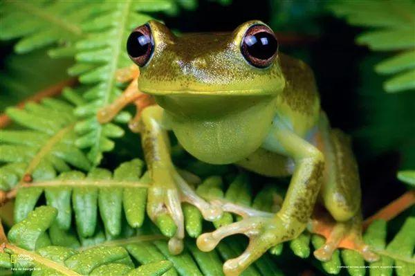 Rana arborícola Una rana arborícola mira a la cámara desde su percha en un helecho en São Paulo. Actualmente existen más de 730 especies de anfibios en Brasil, 467 de las cuales son endémicas de la región. (Fíjese, por favor, en la papada)