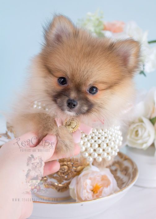 Cutest Pomeranian puppy ever.