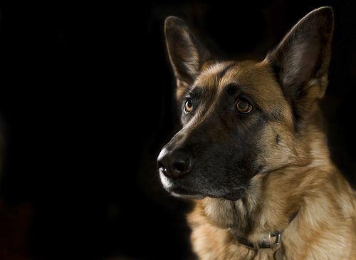 By far my favorite dog. I miss mine so much <3 Truly amazing animals.