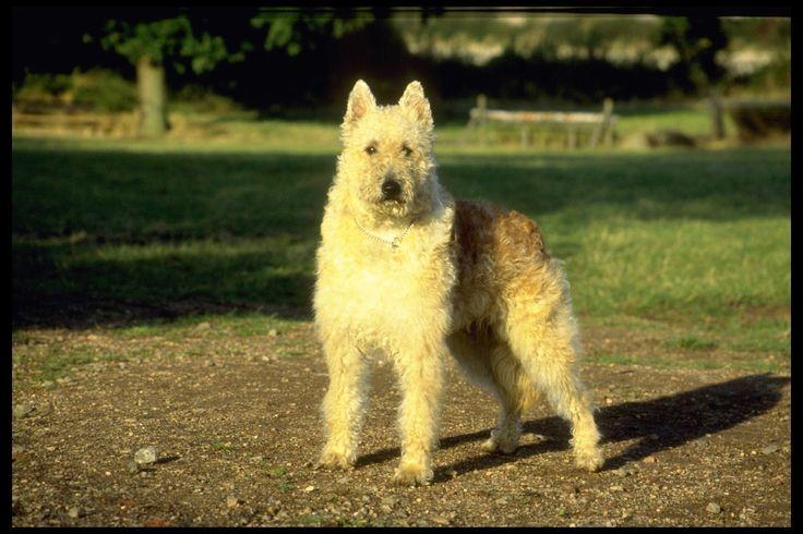 Belgian Shepherd Dog Breeds
