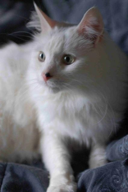 abb83117b19dae Pictures of Turkish Van Cat Breed  angoracats