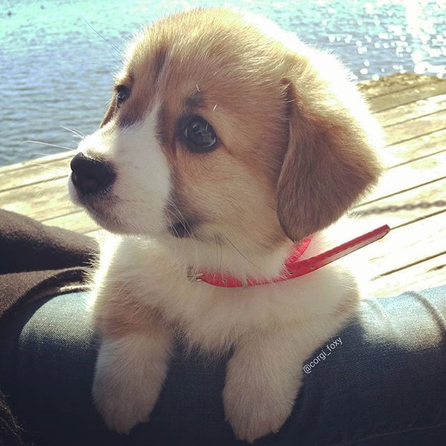 Love this dog!   Follow: @dogbestpix -  @corgi_foxy  #dogbestpix to be featured . #dogslover #mustlovedogs
