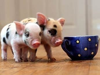 THESE PIGS ARE FULL GROWN....
