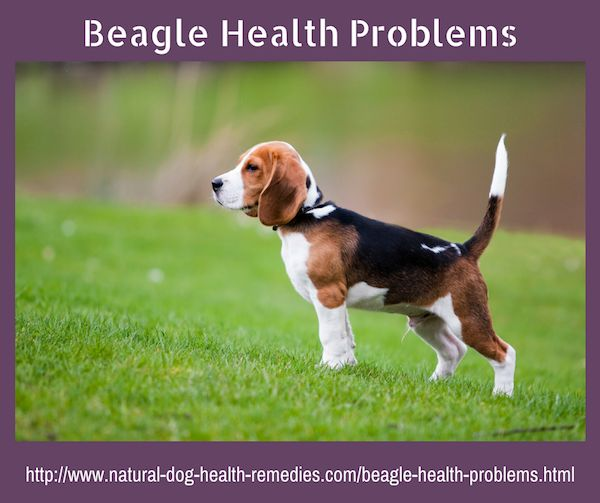 Common health problems in beagles.