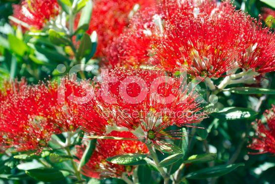 Pohutukawa (Metrosideros excelsa) royalty-free stock photo