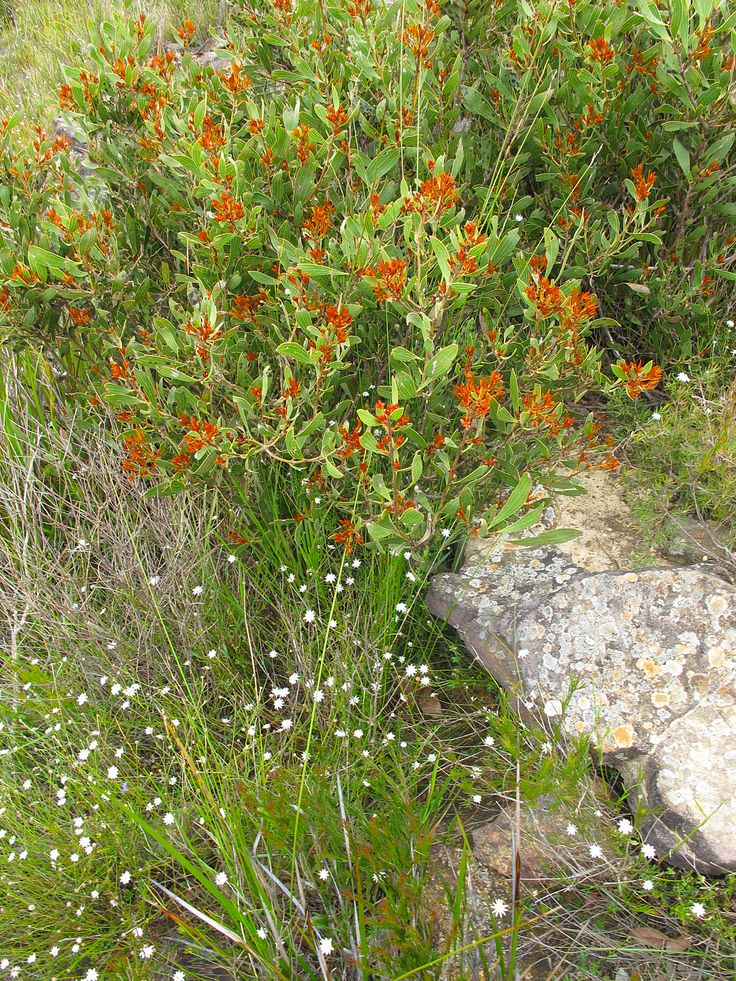 heath plants, Mt Hay
