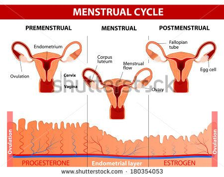 Menstrual cycle. Menstruation, Follicle phase, Ovulation and Corpus luteum phase. diagram