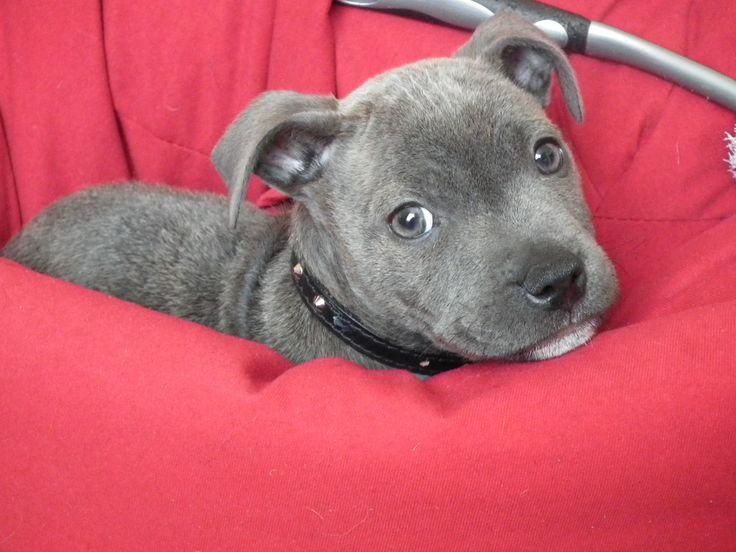 Blue Staffie pup.