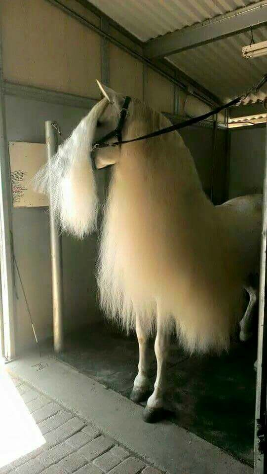 Long hair - beautiful fluffy Forelock, and Mane - They should have called it fluffernutter.