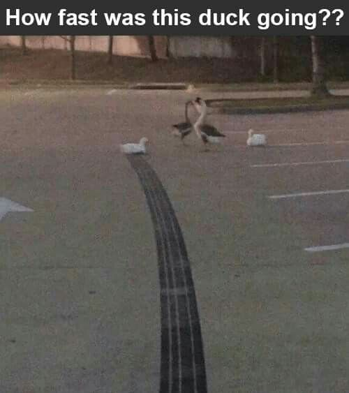 How fast was this duck going?
