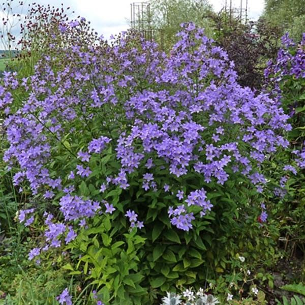 Campanula lactiflora Prichard's variety – Campanule laiteuse à fleurs bleues