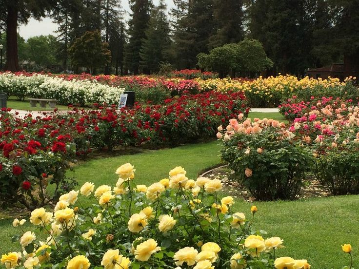 Roses In Garden: 34 Best Images About San Jose Municipal Rose Garden On