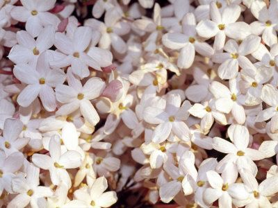 The jasmine is blooming at the moment - it's delicate scent softly blowing across the backyard. So intoxicating.