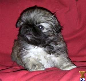 Pekingese Puppies for Sale *Like 3 Million Animals being EUTHANIZED each year isn't enough?! GET A JOB!!!