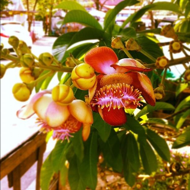 ต้นสาละ (Shorea robusta Roxb.) - @imob- #webstagram