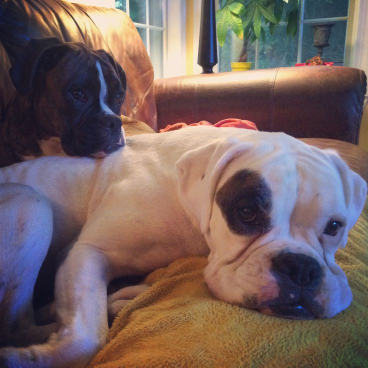 Boxer dogs: Ellie & Pinky