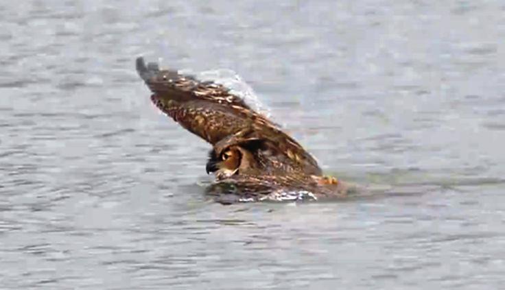 ALLPE Medio Ambiente Blog Medioambiente.org : Solo un búho cornudo nadando