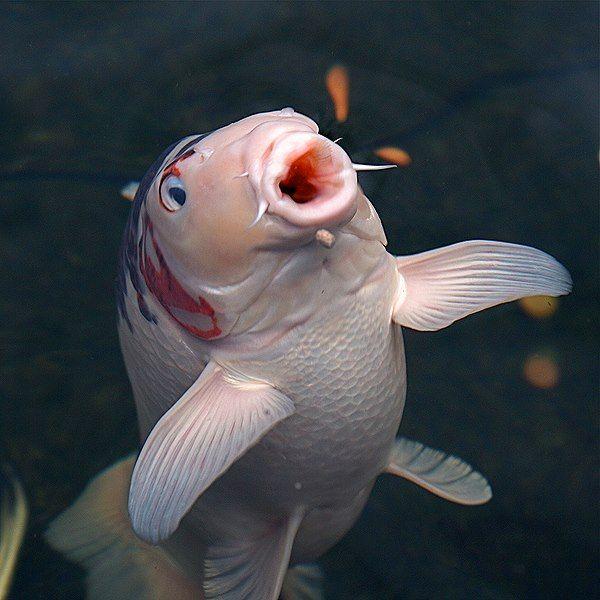 250 besten koi and fish ponds bilder auf pinterest for Japanische kampffische