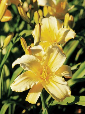 how to grow daylilies outdoors