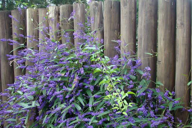 En el jardin: Hardenbergia comptoniana