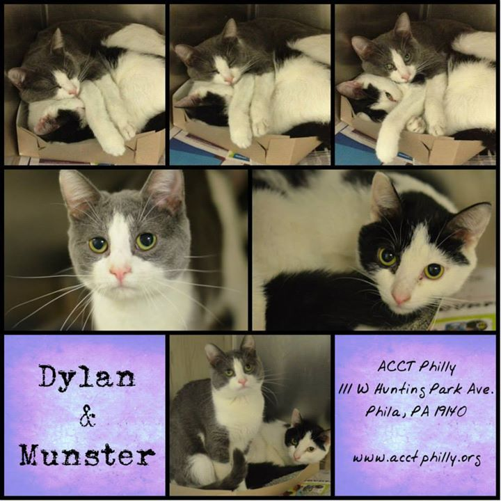 DYLAN (A23420045) & MUNSTER (A23420058) Death Row. located at Philadelphia's animal control shelter, ACCT. Needs immediate adoption, rescue or foster care. ACCT is located at 111 W Hunting Park Ave and is open 365 days a year. Adoption hours are are 1-8 Monday through Friday and 10-5 on weekends. To check the status of an animal, call 267-385-3800, or email lifesaving@acctphilly.org