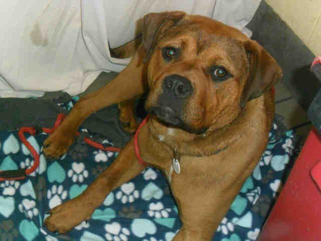 Adopt Tony On Rottweiler Puppies Mastiff Mix Rottweiler