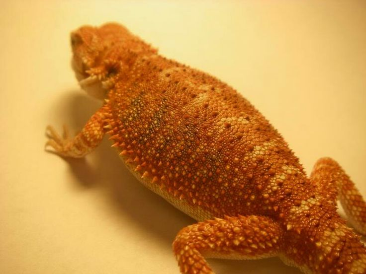 This was my pride and joy... the brightest and most red bearded dragon I produced. Blood X orange/red German giant/het hypo. Keep in mind this beardie is only about 3.5-4 inches long and only 2 weeks old. Imagine how much redder he would have gotten.