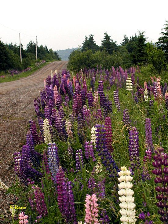 Lupins in Cape Breton, Nova Scotia - My new favourite wild flower!  They smell great too.   http://CaperMemories.Com