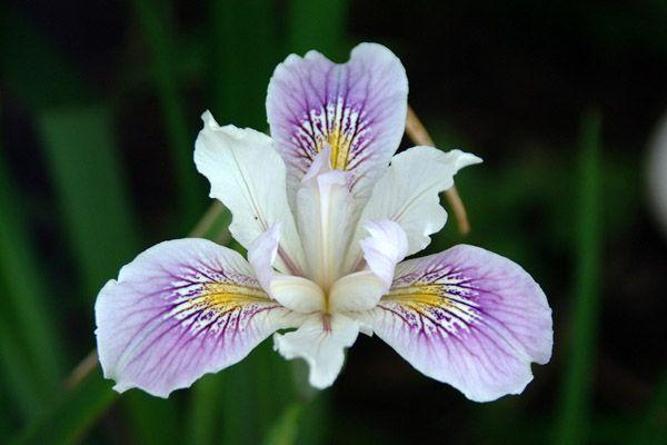 Iris Flowers Tattoos - Bing Images