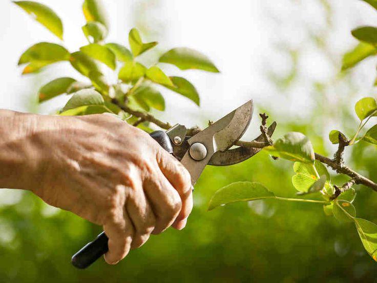 Puiden leikkaaminen vaikuttaa puun ulkonäköön ja hyvinvointiin. Oikeanlainen leikkaus ehkäisee puiden repeymävaurioita.